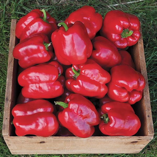 Organic Pepper Seeds
