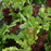 Lettuce Leaf Mix Seeds