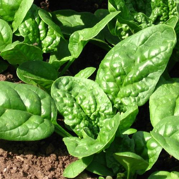 10 Ways To Style Your Very Own Vegetable Garden: Big Round Spinach Leaf Seeds