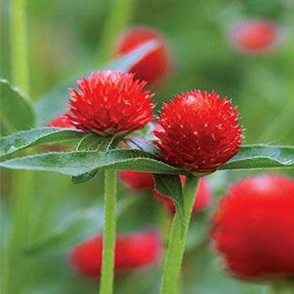 Gomphrena Red Flower Seeds