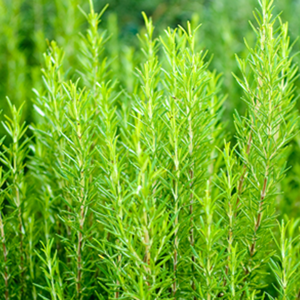 Rosemary (5 Seeds) - Rama Deals - 7