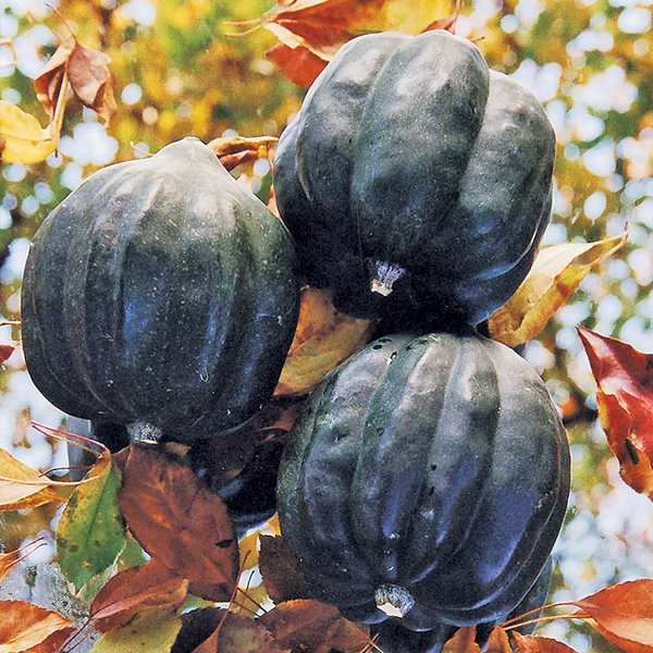 Royal Squash Seeds