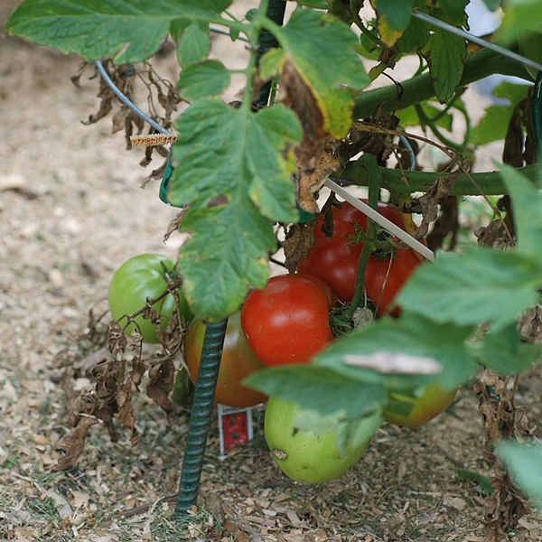 10 Ways To Style Your Very Own Vegetable Garden: Super Tomato Seeds