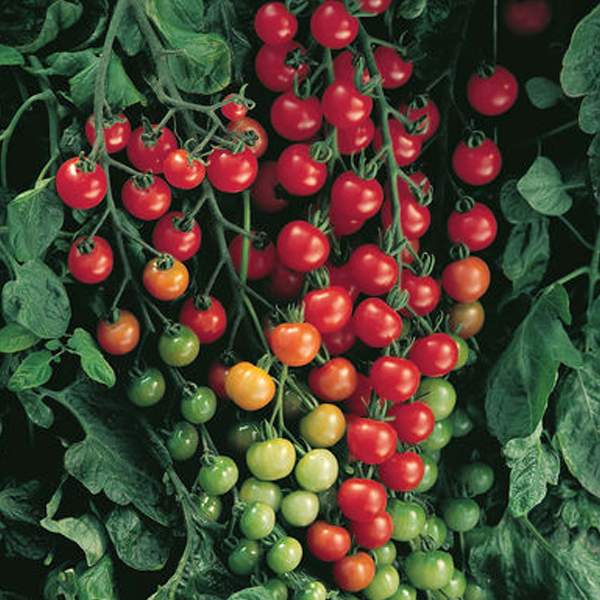Sweet Cherry Tomato Seeds – Jack Seeds