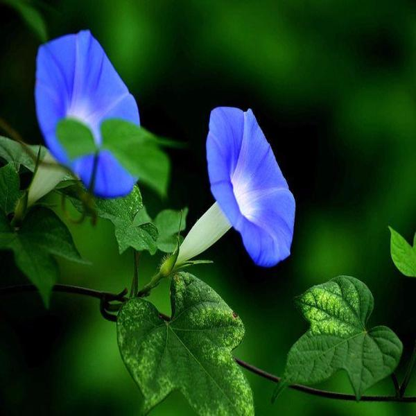 Baby Blue Ipomoea Morning Glory Seeds