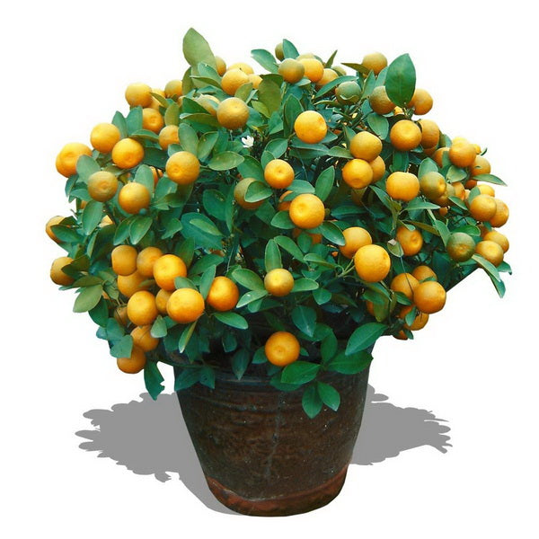 Valencia Orange Tree Seeds