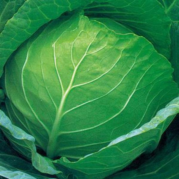 Hot Dreams Cabbage Seed vegetable 200 seeds