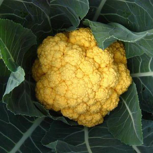 Hot golden cauliflower seeds healthy vegetable seeds 100seed