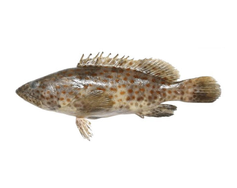 "From UAE Seafood Whole Wild  White Hamour "" white grouper"""