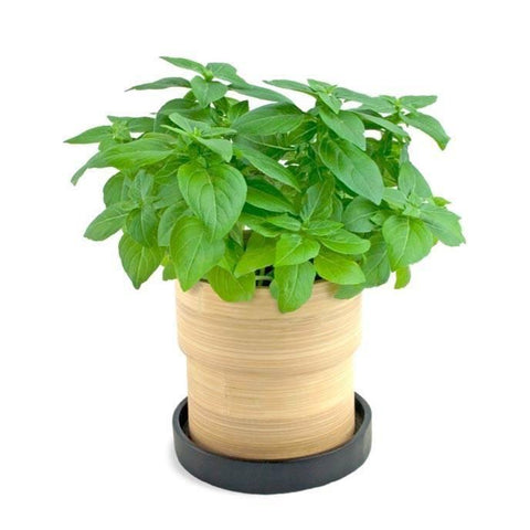 From UAE Vegetables Organic Basil
