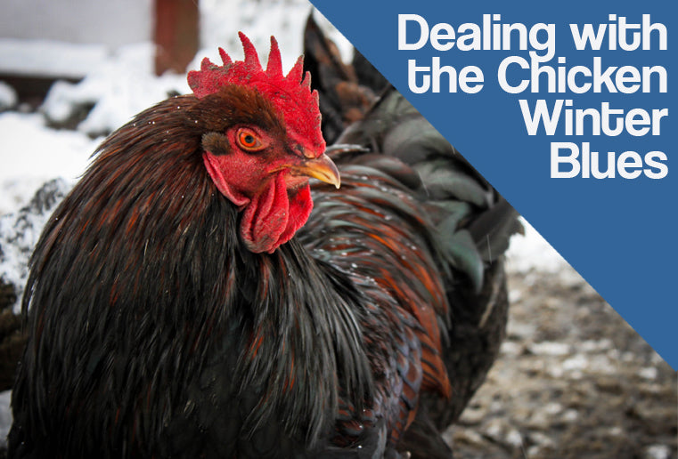 Dealing with the Chicken Winter Blues
