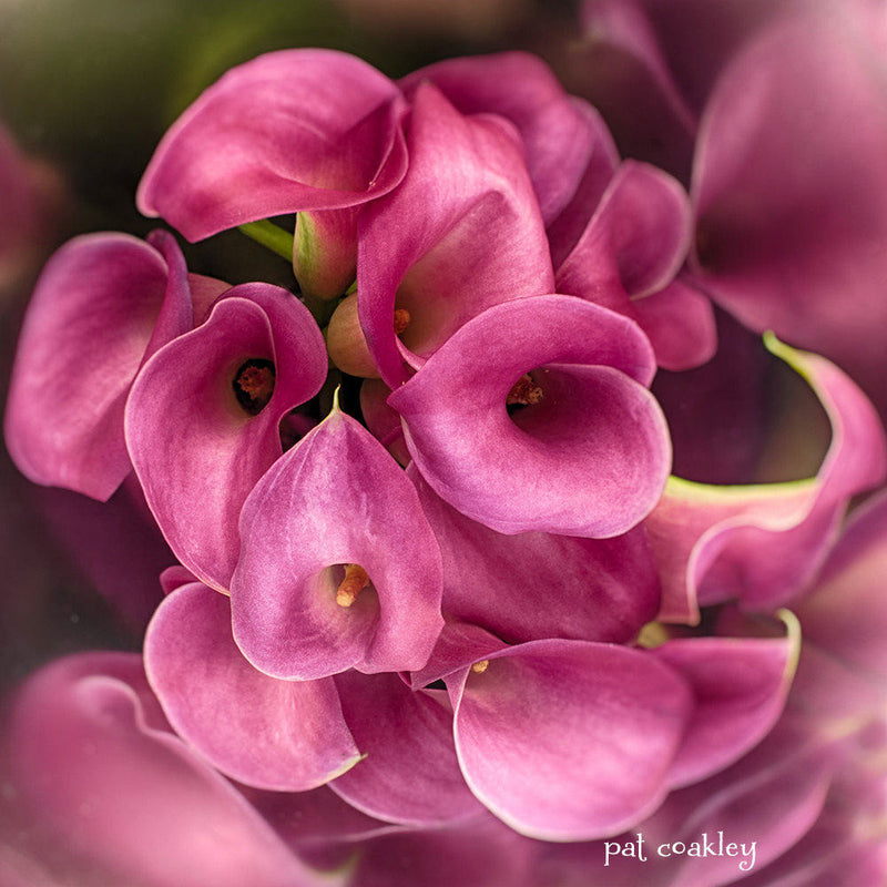 An Award Winning Pink Calla Lily Fine Art Metal PhotographicPrint Ready to Hang