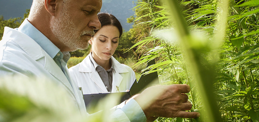 researchers checking hemp plants