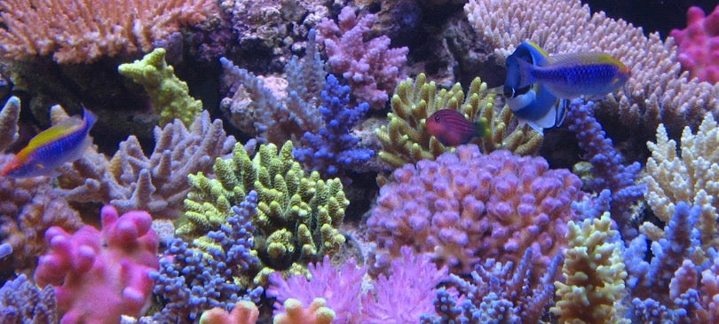 keeping a mandarin healthy and happy pod your reef