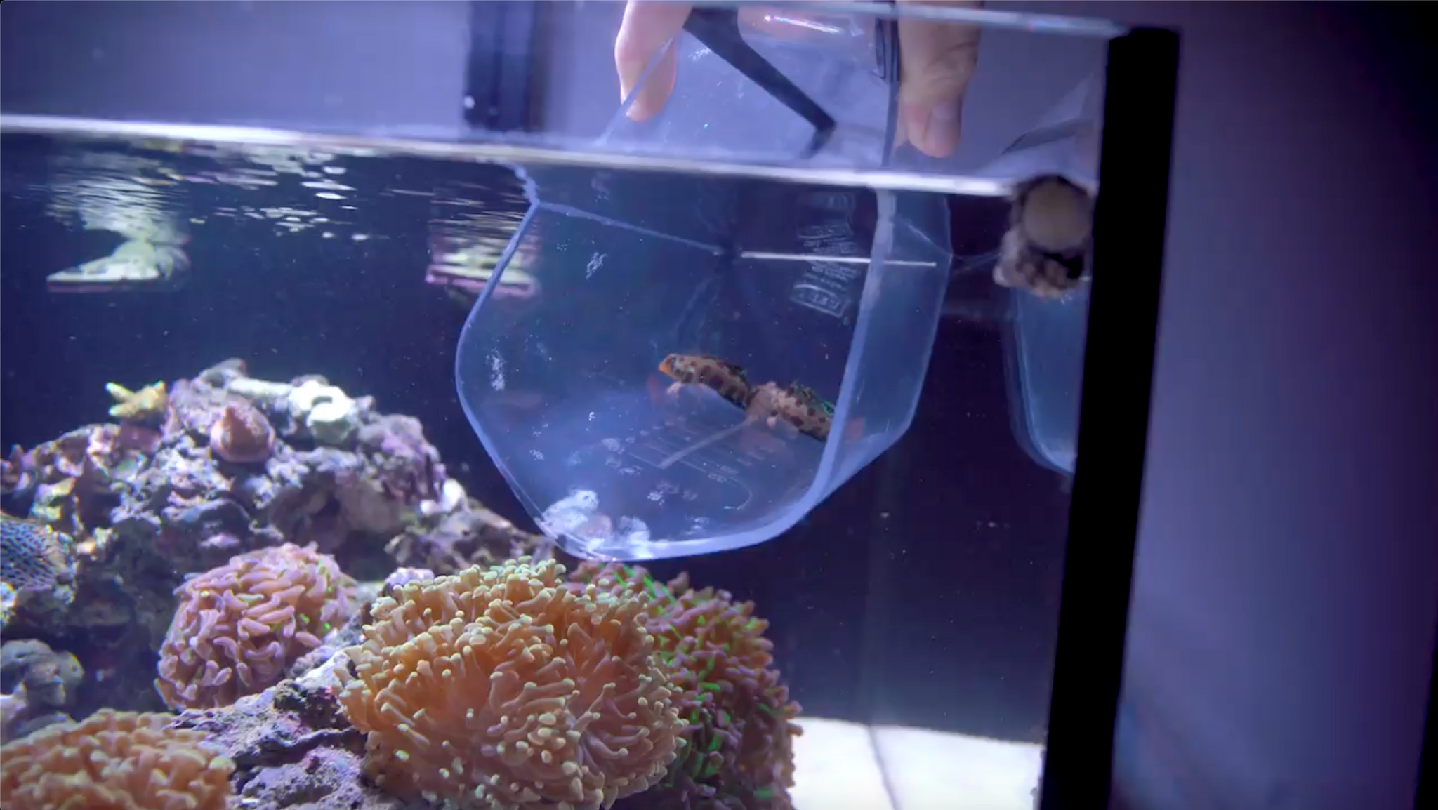 Screen Shot from Video that plays showing two mandarins coming out of a measuring cup and being introduced into a reef tank and then fed copepods from pod your reef