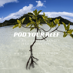 Pod Your Reef Mangrove Red Mangrove Propagule (Rhizophora mangle)