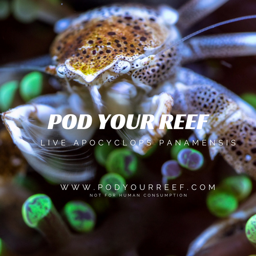 Pod Your Reef Zooplankton Apocyclops panamensis Reef Copepods