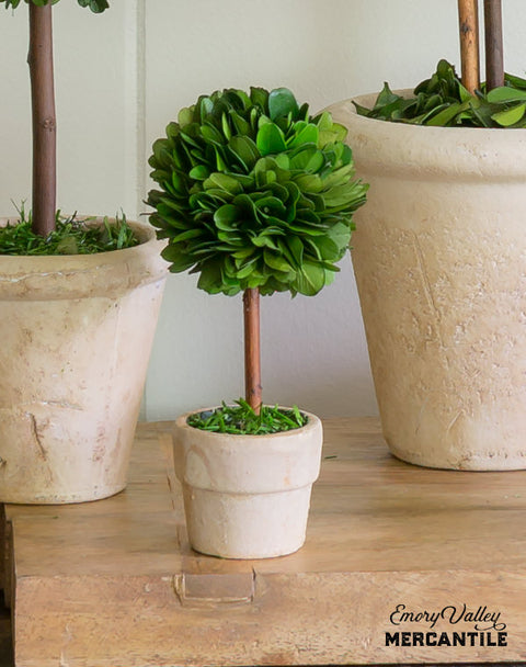 mini preserved boxwood topiary ball tree