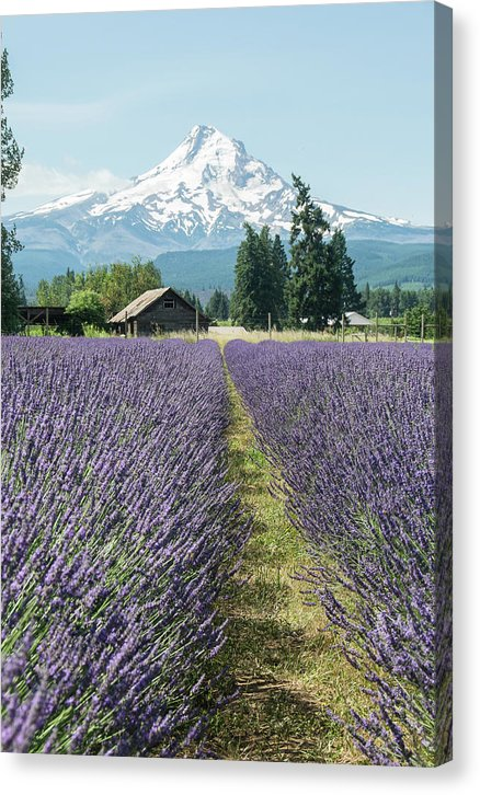 Oregon Lavender Fields - Canvas Print