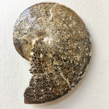 Sphenodiscus sp ammonite Fossil