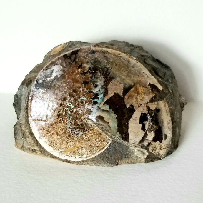 Sphenodiscus sp. Ammonite