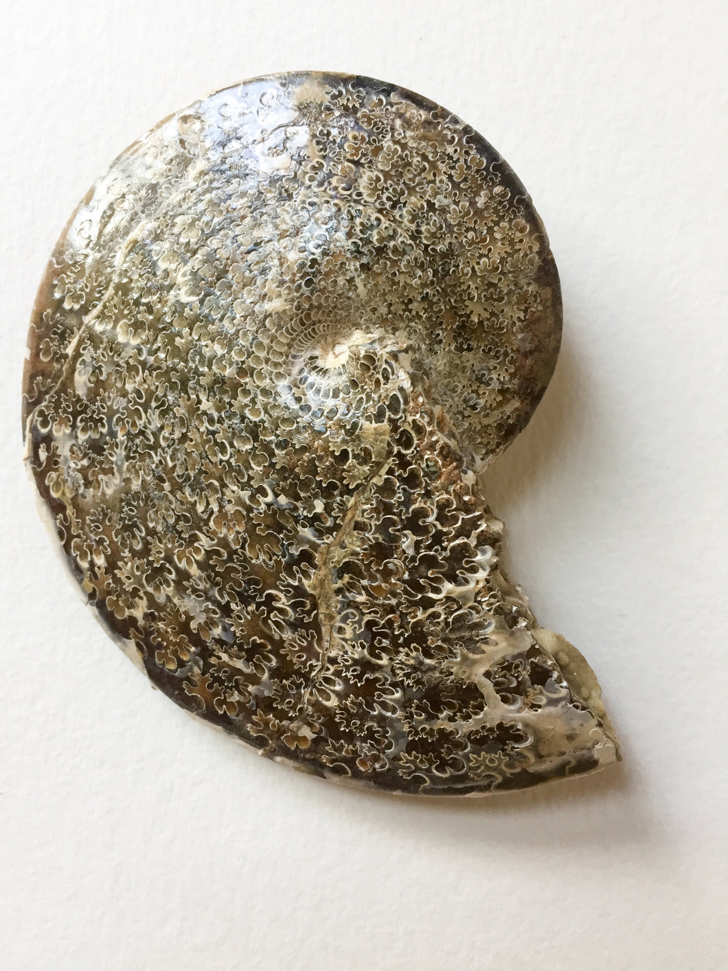 Sphenodiscus sp ammonite