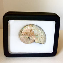 Discoscaphites conradi Ammonite in case