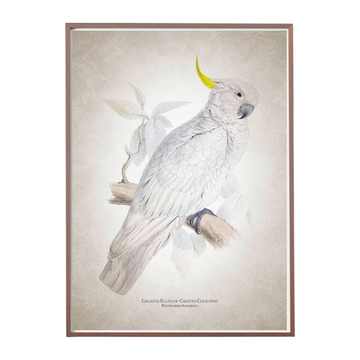 Great Greater Sulphur Crested Cockatoo Art Print - KNUS