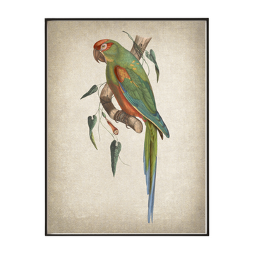 Red Fronted Macaw Art Print - KNUS