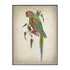 Red Fronted Macaw Art Print