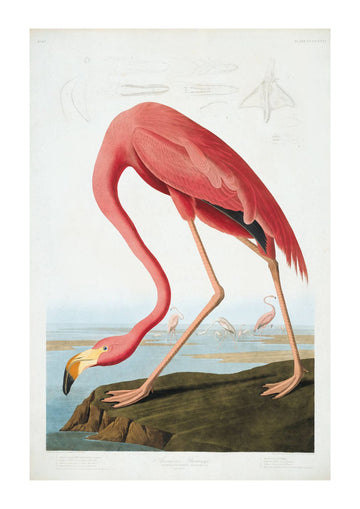 Natural History Flamingo Art Print - KNUS