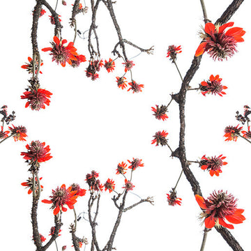 Erythrina latissima Wallpaper