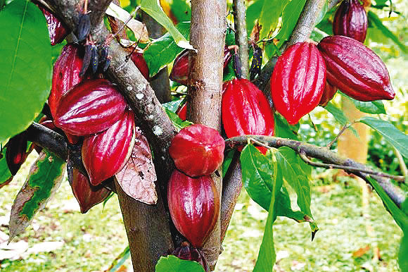 What makes Cacao an Awesome Superfood