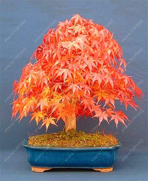 Bonsai Maple Tree Seeds