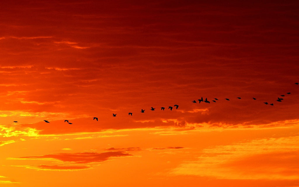 Flock of geese in the distance during a sunset