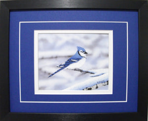 Blue Jay by Glen Scrimshaw
