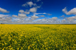 Canola Fields by Master Photographer Jim Brompton