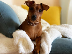 Small brown dog laying on a white blanket on a blue couch looking at the camera.