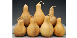 Pre-Boxed CLEAN Pear and Tear Drop Gourds