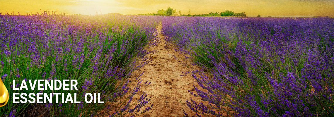 Lavender Oil: The Complete Profile