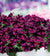 4 kpl Petunia 'Cosmic Purple'