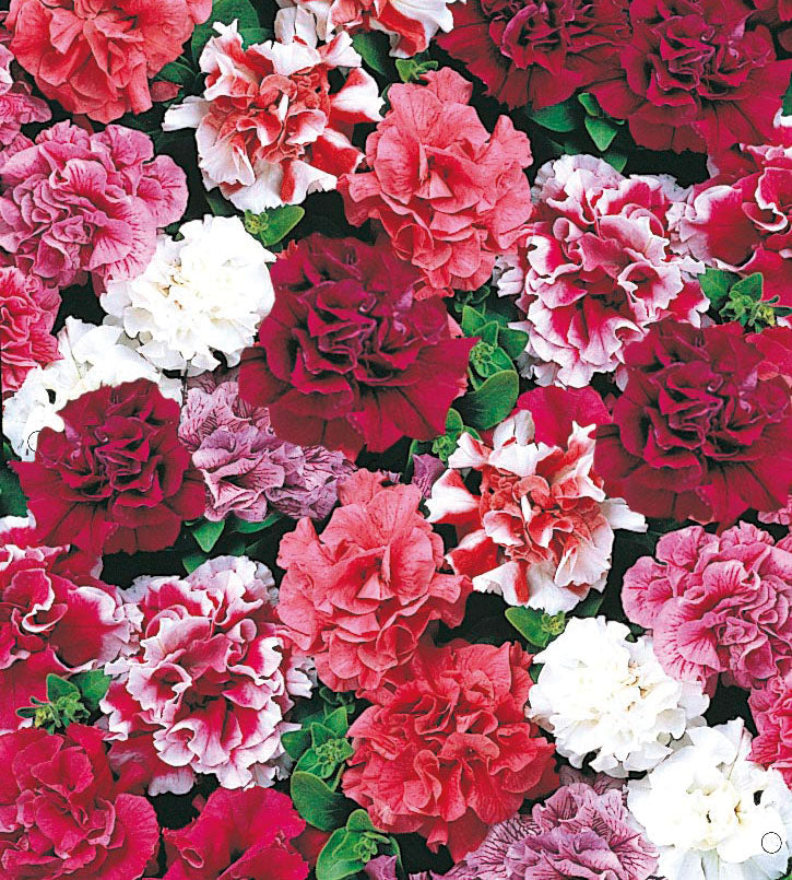 24 kpl Petunia 'Duo Mix'