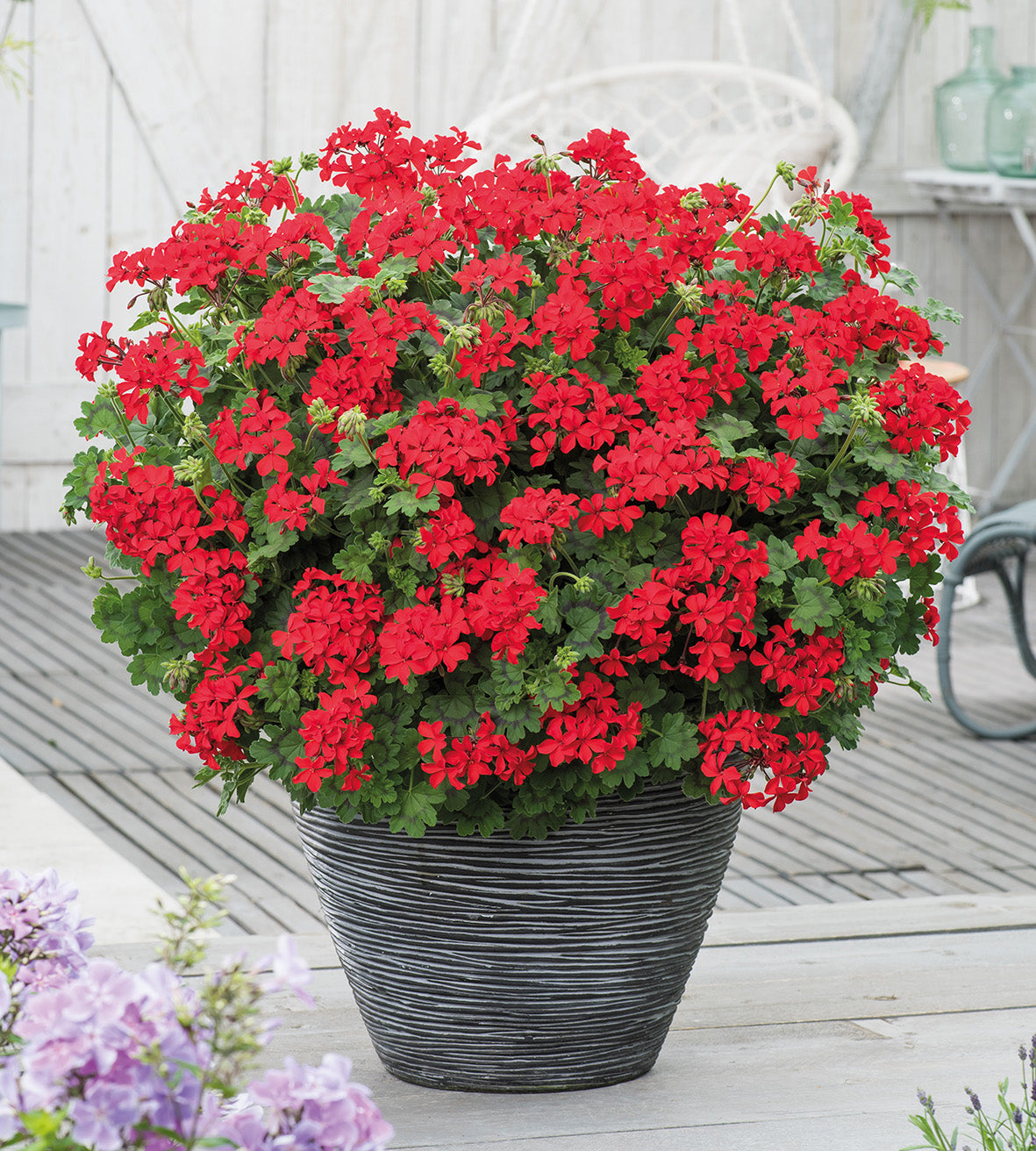 3 kpl Pelargoni 'Red Explosion'
