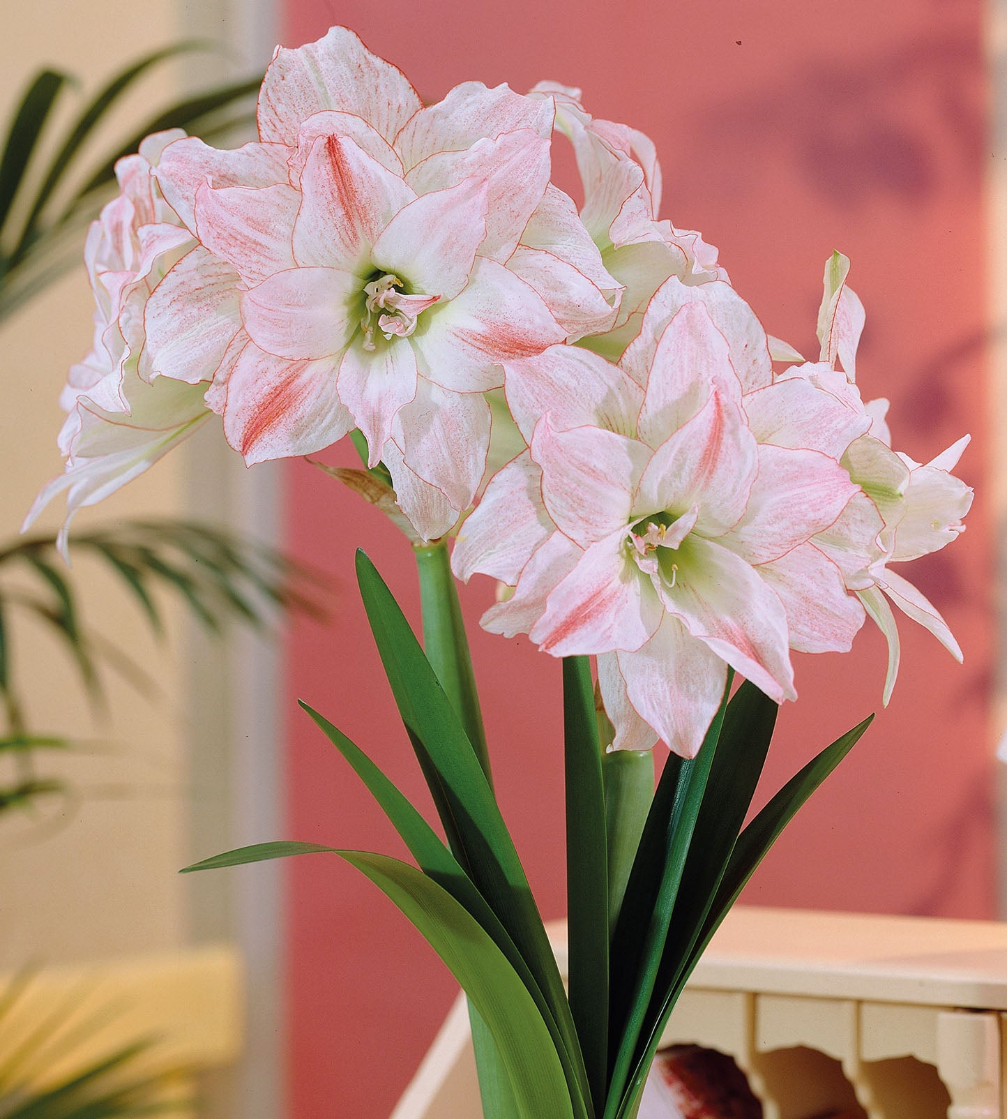 3 kpl Amaryllis First Love