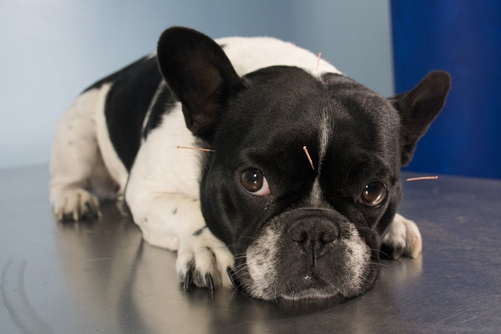 Alternative Treatments: Canine Acupuncture