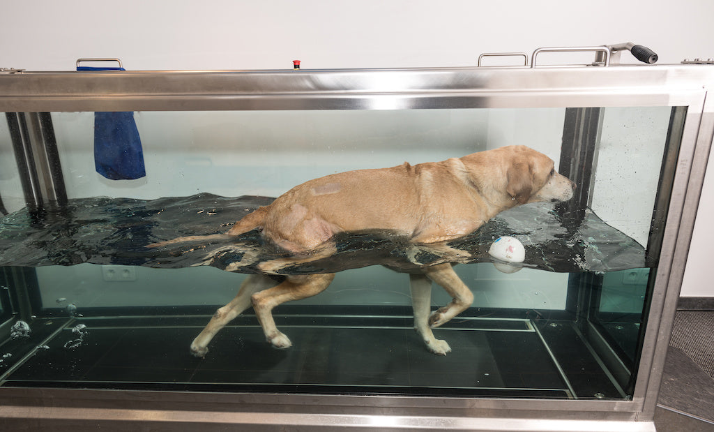 Hydrotherapy for Dogs Helps Get Them Back on Their Feet