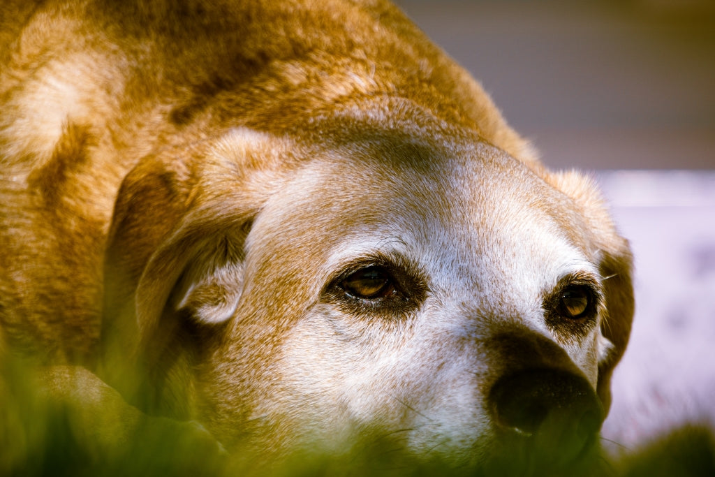 How Does Osteoarthritis Affect Your Dog?