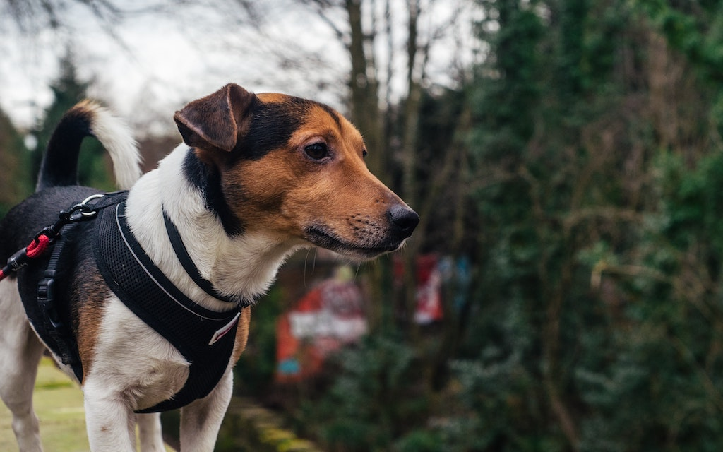 Dog Harness Vs. Collar: Which is Better for Your Dog?