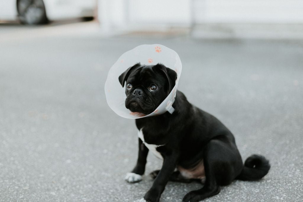 Preparing Your Dog For Spaying And Neutering