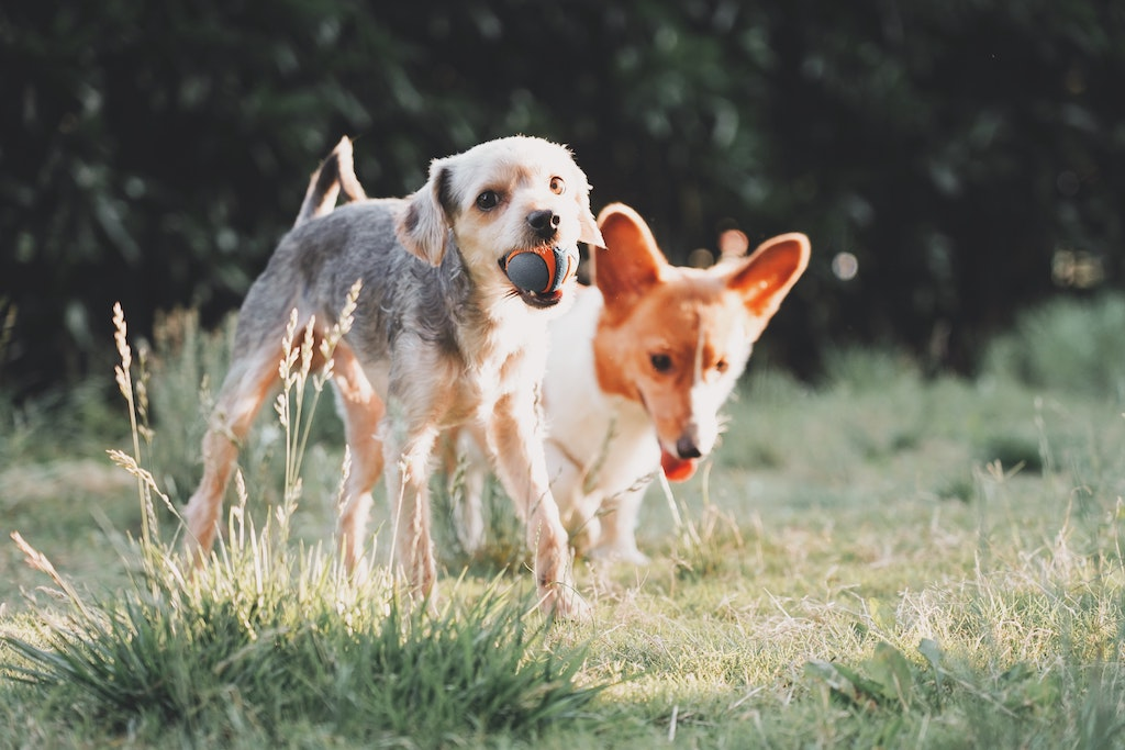 How Important is Fibre in Your Dog's Diet?